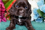 Picture of 'Hershey' AKC Chocolate-Cocker Spaniel Puppy