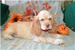 Picture of 'Wyatt' AKC Buff Male Cocker Spaniel Puppy