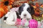 Picture of 'Godiva' AKC ChocolateParti Cocker Spaniel Puppy