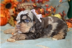 Picture of 'S'Mores' ChocolateMerle Cocker Spaniel Puppy