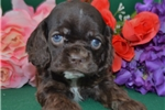 Picture of 'Rocky' AKC Chocolate Cocker Spaniel Puppy