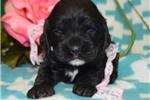 Picture of 'Beauty' AKC Black Female Cocker Spaniel Puppy