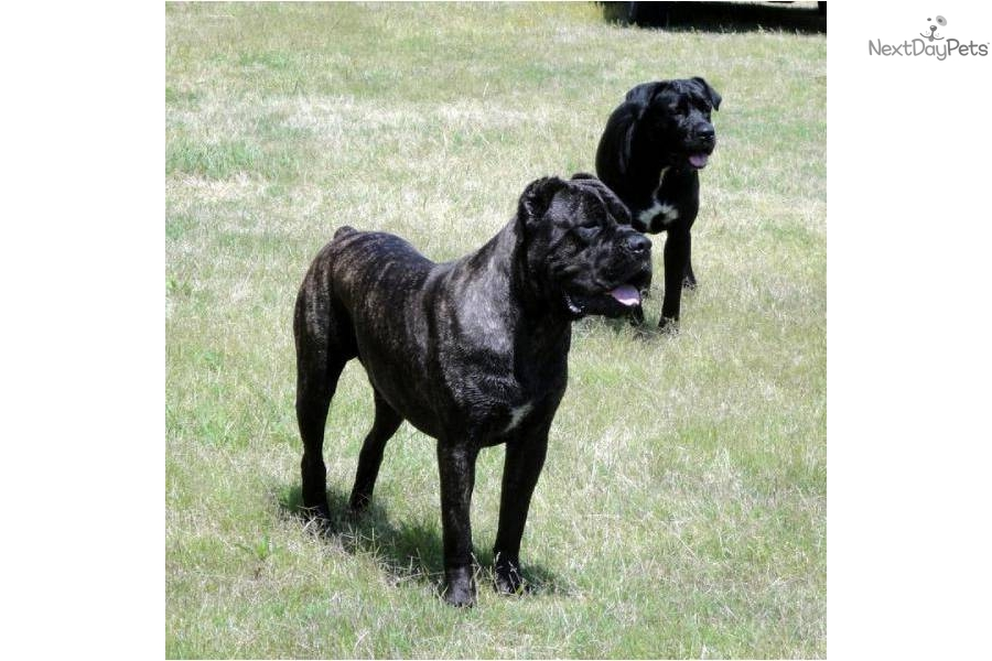 breeders and cane corsos for sale to download cane corso breeders ...