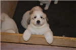 Maremma Sheepdog for sale