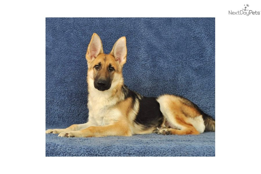 German Shepherd puppy for sale near Springfield, Missouri ...