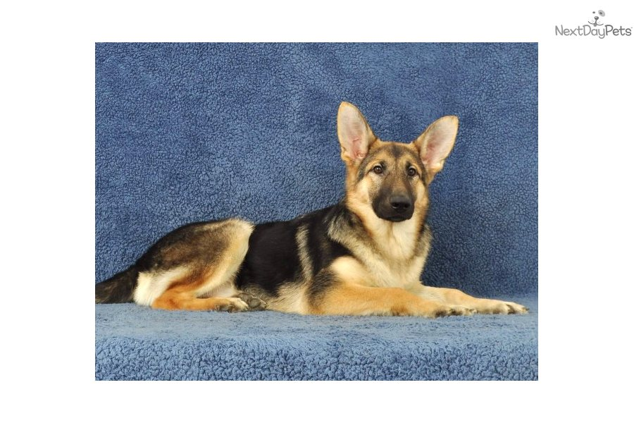 Meet Mandy a cute German Shepherd puppy for sale for ...