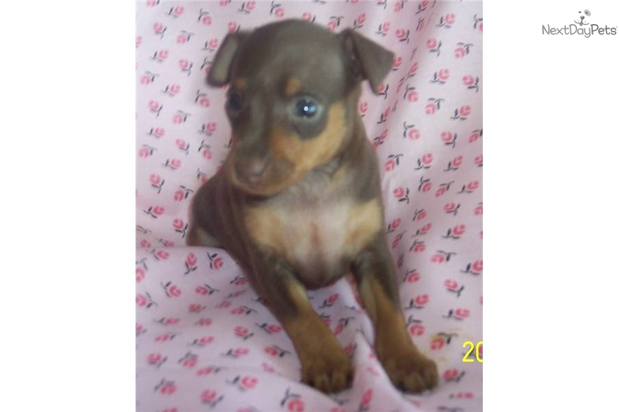 miniature pinscher puppy for sale near joplin missouri