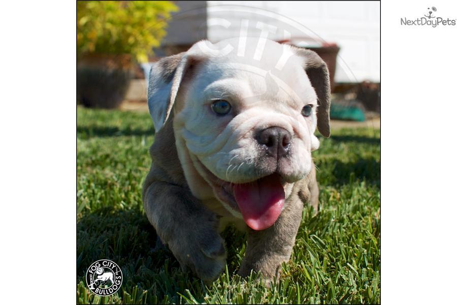 blue-english-bulldog-puppies
