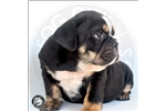 Picture of AKC Black Tricolor Masterpiece