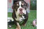 Bulldog for sale