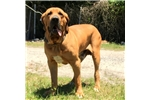 Picture of Gorgeous Fila Boy - Excellent Guard Dog