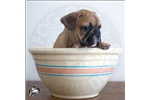 Picture of Fog City Bulldogs: Fawn Male
