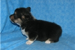 Picture of Gypsy's #1  Male  AKC