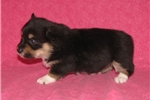 Picture of Gypsy's #4  Female  AKC