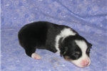 Picture of Ruby's  #3  Male AKC