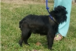 Picture of BLACK ROUGH COAT MALE RUSSIAN LINES