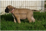Picture of PICK OF LITTER FAWN MALE