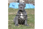 Picture of AKC BLUE SHOW QUALITY