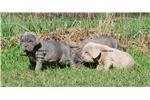 Picture of Blue AKC female SHOW PROSPECT