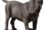 Picture of HESPERO- BLACK MALE- CHAMPION SIRED - READY TO GO!