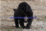 Picture of black female puppy