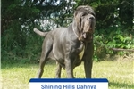 Picture of Champion sire/dam litter coming July 25 2017!