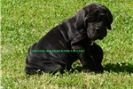 Picture of HECTOR- BLACK MALE- CHAMPION SIRED - READY TO GO!