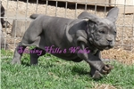 Picture of SHINING HILLS KHOLE- SHOW POTENTIAL FEMALE
