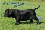 Picture of PICK OF THE LITTER! HIERONOMO