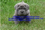 Picture of BLUE MALE,  SHOW PROSPECT