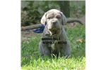 Picture of Champion sire/dam import pedigree puppies coming