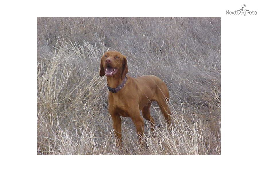 Vizsla Weimaraner Puppies Texas