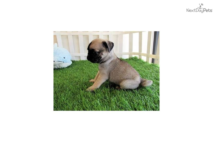 Small Toy Pugs : Pug puppy for sale near san diego california b bf c