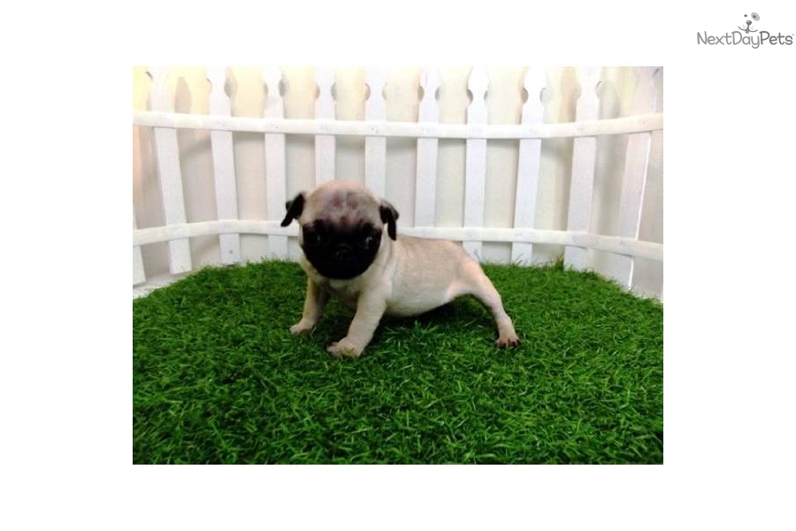 Small Toy Pugs : Pug puppy for sale near san diego california a acbf cf