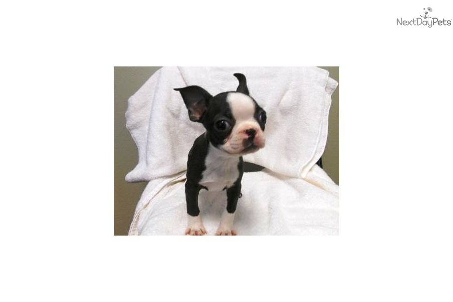 Mini toy boston terrier pups super cutedog boston terrier puppy