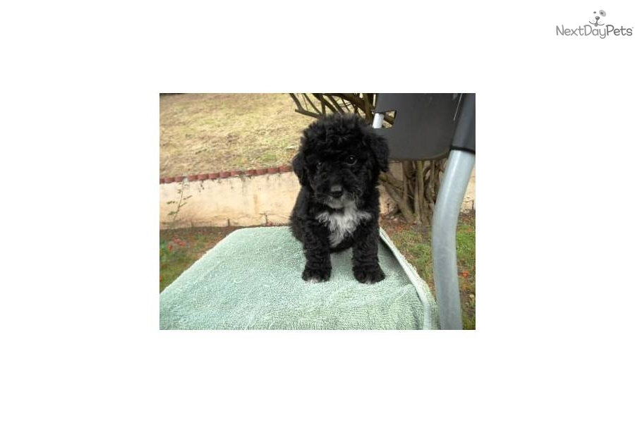 Meet Female a cute Malti Poo - Maltipoo puppy for sale for ...