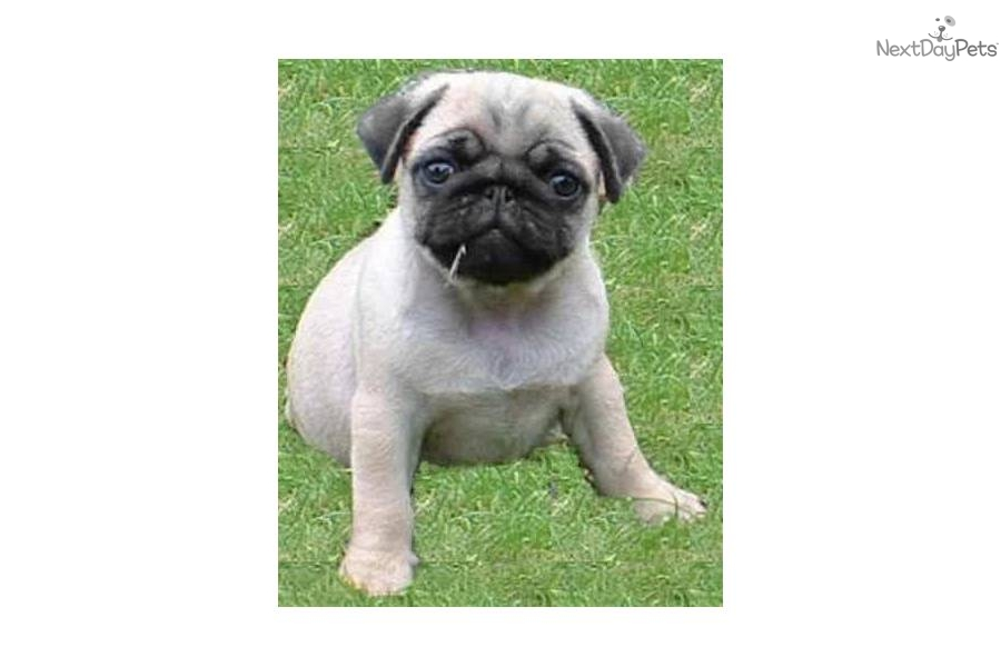 Small Toy Pugs : Meet puggy a cute pug puppy for sale mini toy