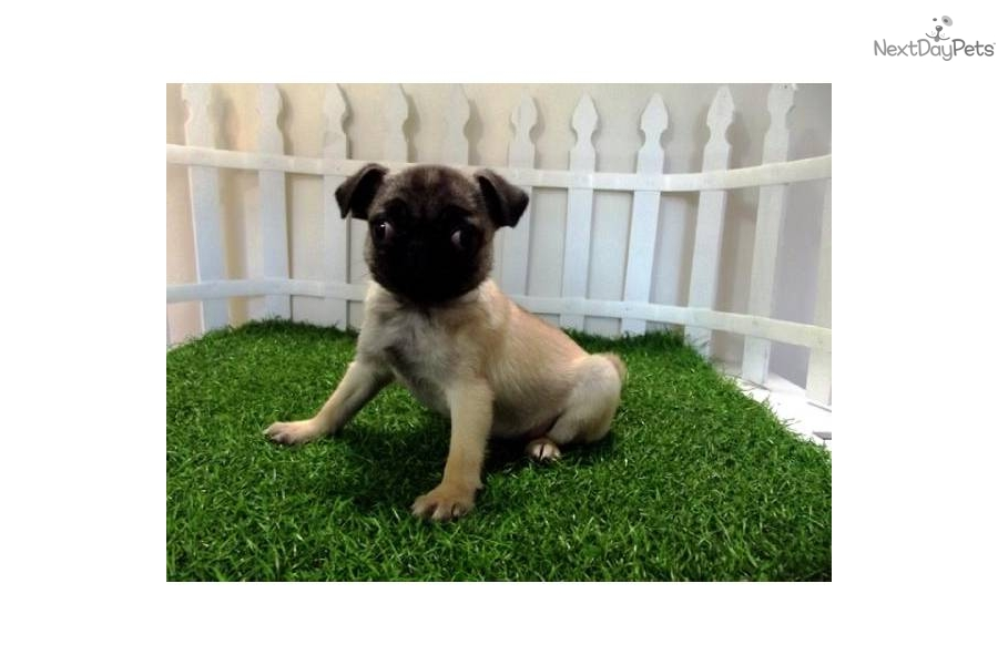 Small Toy Pugs : Pug puppy for sale near san diego california c e