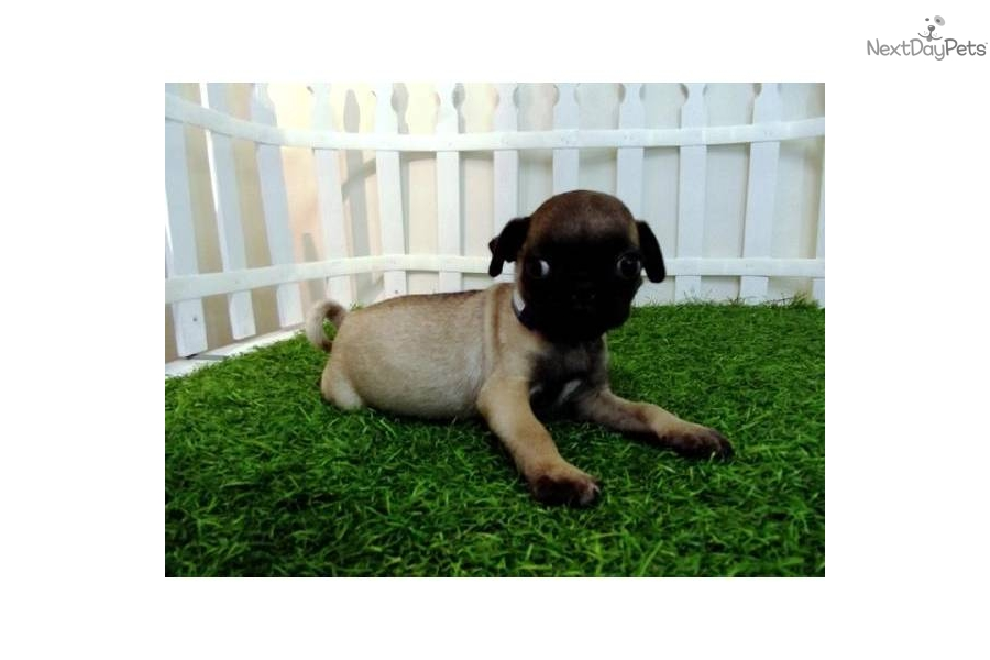 Small Toy Pugs : Meet buddy a cute pug puppy for sale mini toy