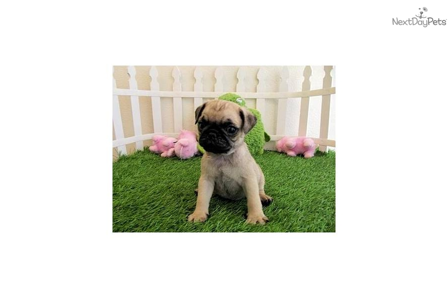Small Toy Pugs : Meet bubbles and georgina a cute pug puppy for sale