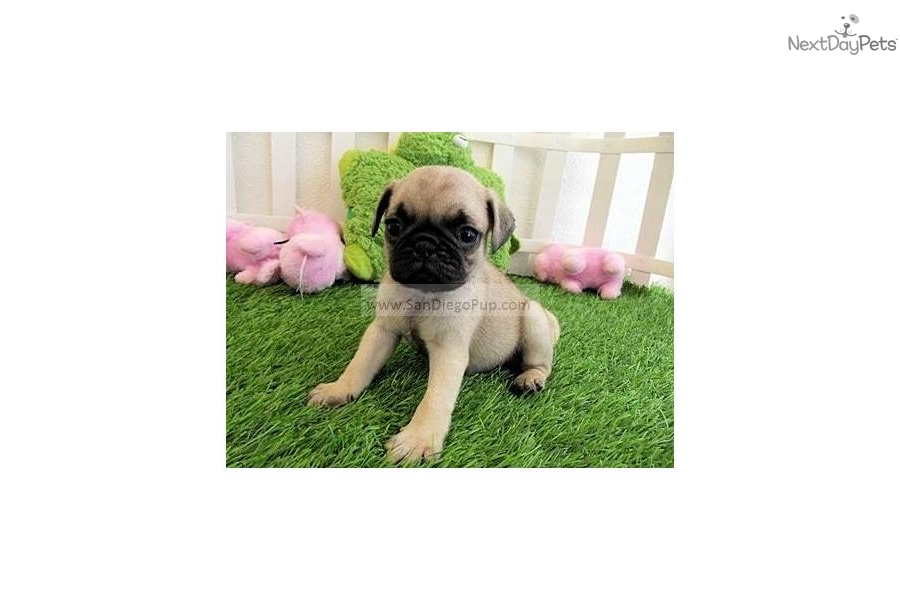 Small Toy Pugs : Pug puppy for sale near san diego california d e b