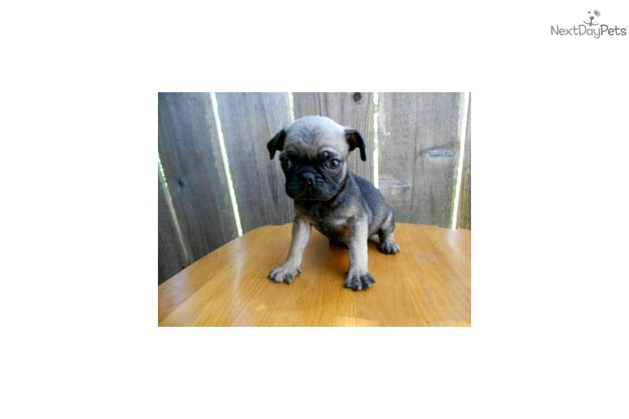 Small Toy Pugs : Meet female a cute pug puppy for sale mini toy