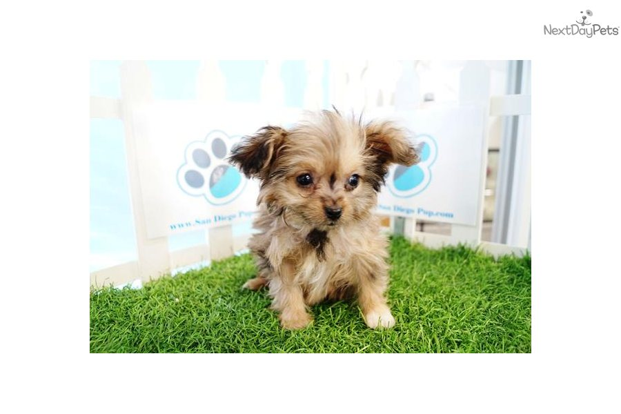 Poma-Poo - Pomapoo puppy for sale near San Diego ...