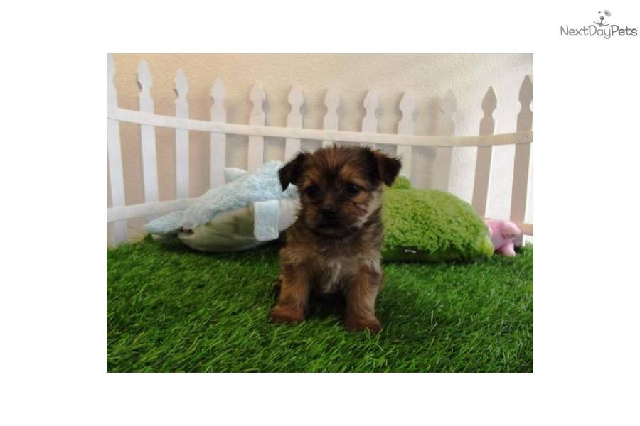 ... Shih-Poo - Shihpoo puppy for sale for $895. Shorkie Puppies - So Cute