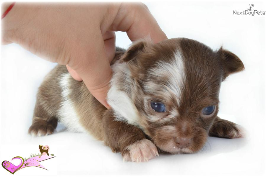 Chihuahua Full Grown | Dog Breeds Picture