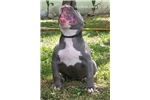 Picture of pitbull terrier