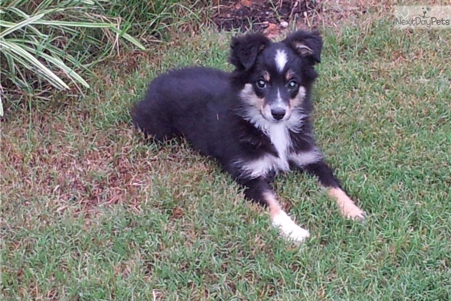 Miniature australian shepherd puppy for sale near athens georgia