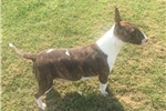 Picture of AKC LIL GRACIE 7856406595