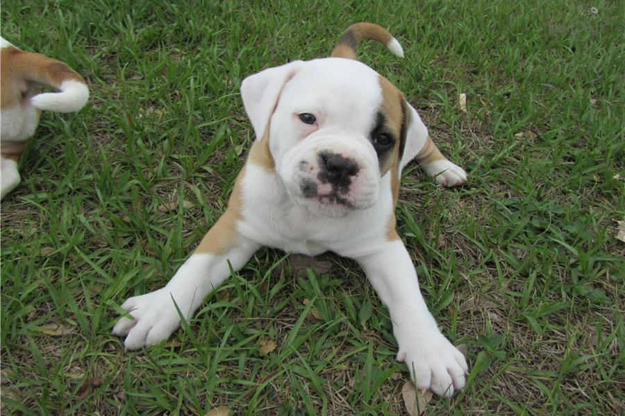 American bulldog puppies for sale in florida dog breeds picture