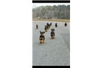 Picture of Airedale Terrier Puppies